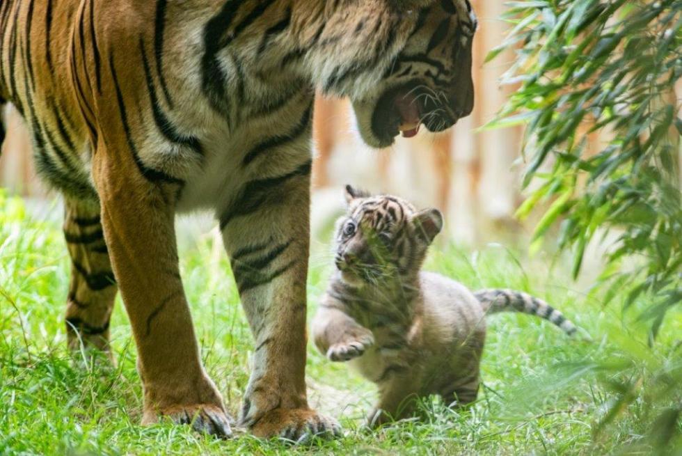 SENSACJA wZoo Wrocław - narodziny jednego znajrzadszych tygrysów na świecie!