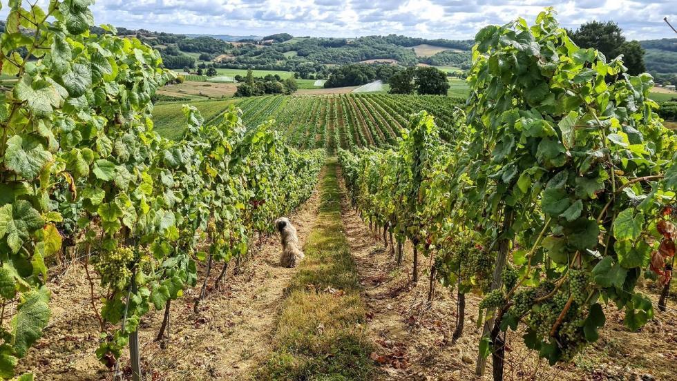 Winny szlak Bordeaux iGaskonii